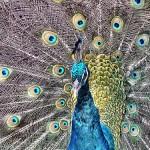 Peacocks | Trendz Ep 61